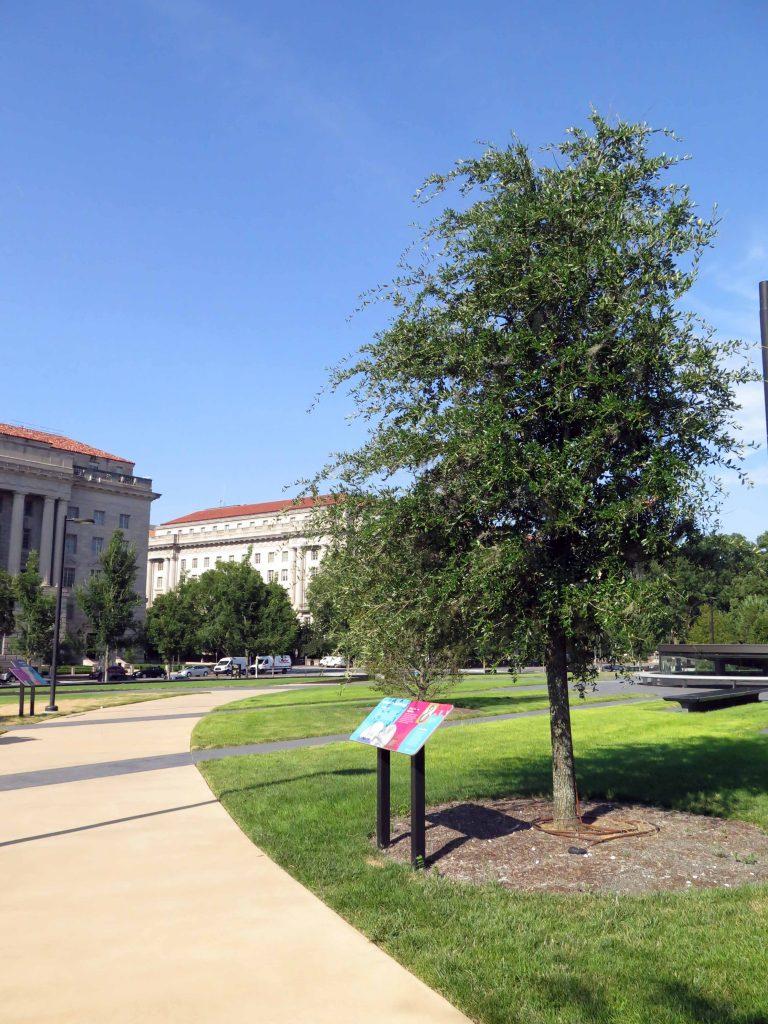 Chêne (<em>Quercus virginiana</em>)